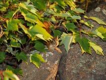 Ciekawa czerwona wiewiórka zdjęcie royalty free