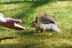 Ciekawa czerwona wiewiórka i ludzka ręka Zdjęcie Royalty Free