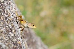 Ciekawa dzika jaszczurka Fotografia Stock
