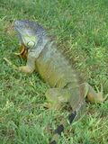 Ciekawa iguana Obraz Stock