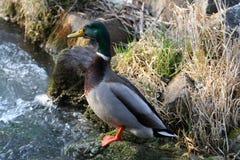 Ciekawa kaczka blisko strumienia! Zdjęcie Royalty Free
