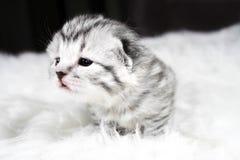 ciekawa kotku Dziecko figlarka jest ciekawym figlarką Zdjęcia Stock