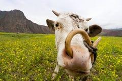 Ciekawa Krowa Obraz Stock