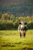 Ciekawa krowa Fotografia Royalty Free