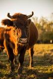 ciekawa krowa Zdjęcie Stock