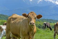 Ciekawa krowa na lato paśniku Zdjęcie Royalty Free