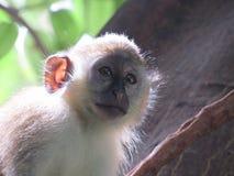 Ciekawa małpa Zdjęcie Royalty Free
