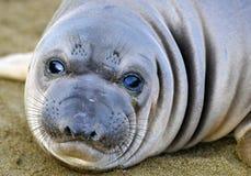 Słoń foka, nowonarodzona ciucia lub niemowlak, duży sura, California Zdjęcie Stock