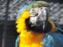ciekawa papuga Obrazy Royalty Free