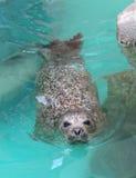 Ciekawa schronienie foka Zdjęcie Stock