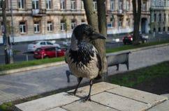 Ciekawa szarości wrona jest watchingin Parkowy zbliżenie obraz stock