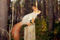 Ciekawa wiewiórka Fotografia Stock