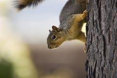 ciekawa wiewiórka Zdjęcia Royalty Free