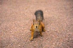 ciekawa wiewiórka Zdjęcie Royalty Free