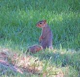 ciekawa wiewiórka Zdjęcie Stock