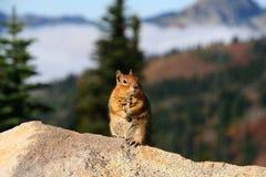 Ciekawa wiewiórka na ostrzeżeniu Obrazy Royalty Free