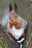 ciekawa wiewiórka Zdjęcia Stock