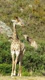 ciekawa żyrafa Zdjęcia Royalty Free