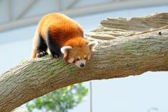 Ciekawa, zagrażająca czerwona panda, Zdjęcia Stock