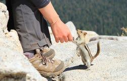Ciekawa Zmielona wiewiórka w Yosemite parku narodowym Fotografia Stock