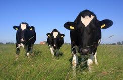 Ciekawe krowy Obrazy Stock