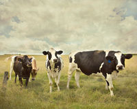 ciekawe krowy Zdjęcie Stock