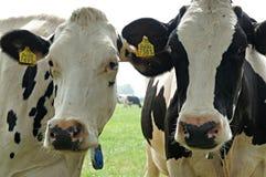 ciekawe krowy obraz stock