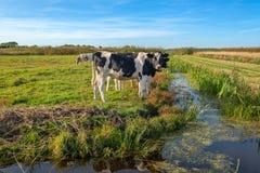 Ciekawe młode krowy w polderu krajobrazie wzdłuż przykopu blisko spróchniałości, zdjęcia royalty free
