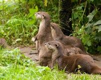 ciekawe wydry Fotografia Stock