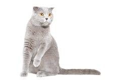 Ciekawego kota Szkocki fałd Zdjęcia Stock