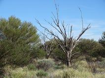 Ciekawi bezlistni drzewa wewnątrz wśród krzaków i trawy, Uluru, terytorium północne obraz stock