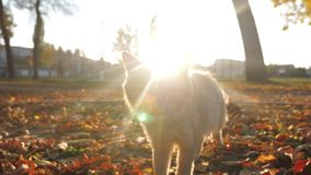 Ciekawi imbirowi kotów spacery w parku przy zmierzchów spojrzeniami w kamera obiektyw meows i zdjęcie wideo