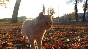 Ciekawi imbirowi kotów spacery w parku przy zmierzchów spojrzeniami w kamera obiektyw meows i zbiory wideo