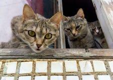 Ciekawi kotów zerknięcia out okno Zdjęcie Royalty Free