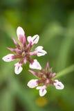 Ciekawi Malutcy kwiaty Fotografia Royalty Free