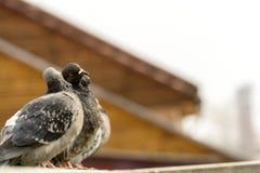Ciekawi Miastowi gołębie Zdjęcie Royalty Free