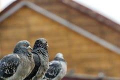 Ciekawi Miastowi gołębie Fotografia Royalty Free