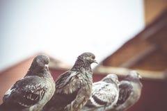 Ciekawi Miastowi gołębie Retro Obrazy Royalty Free