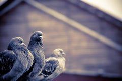 Ciekawi Miastowi gołębie Retro Obraz Stock