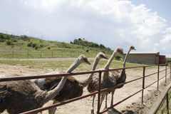 Ciekawi ostrichs Obrazy Stock