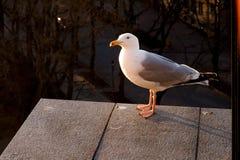Ciekawi seagull spojrzenia przy kamerą Obrazy Royalty Free