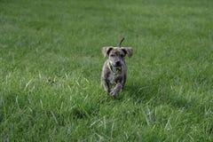 Ciekawie Śliczny Halny Cur ratuneku szczeniak Zdjęcia Stock