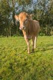 Ciekawie patrzeć młodej jasnobrązowej krowy Obrazy Stock