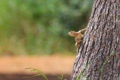 Ciekawości agama jaszczurka na drzewie Fotografia Stock