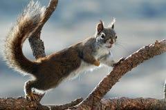 Ciekawska czerwona wiewiórka Zdjęcia Stock