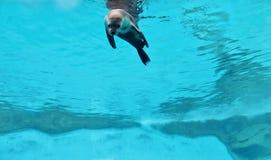 ciekawska foka Fotografia Stock