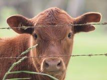 Ciekawska krowa Obrazy Royalty Free
