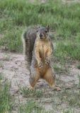 Ciekawska Teksas lisa wiewiórka Fotografia Stock