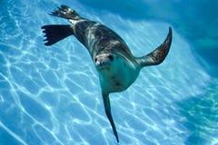 Ciekawski foki pływać podwodny obraz royalty free