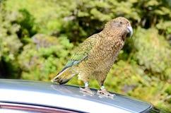 Ciekawski Kea na samochodzie zdjęcie royalty free